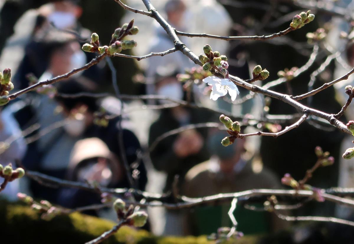 東京・靖国神社の標本木の桜が開花し、東京都の桜の開花が宣言された=14日午後、東京都千代田区(佐藤徳昭撮影)
