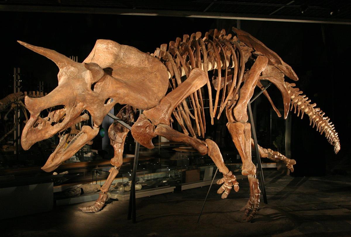 群馬県立自然史博物館に展示中のトリケラトプス=富岡市上黒岩