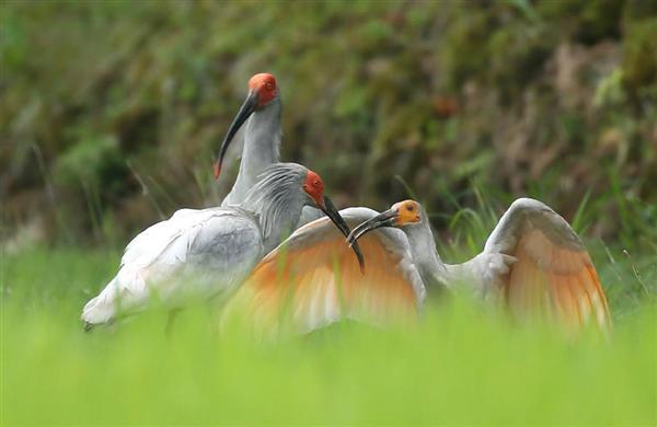水田のあぜで3歳の雌(左)の親鳥から翼を広げてエサをねだる幼鳥。奥は4歳の雄=8日午前、新潟県佐渡市(大山文兄撮影)