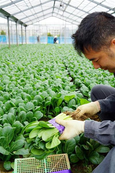 小松菜は、鮮度を保つため根を付けたまま出荷される=千葉県船橋市