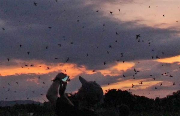 16日は約5万5千羽のツバメが平城宮跡でねぐら入りした=奈良市の平城宮跡
