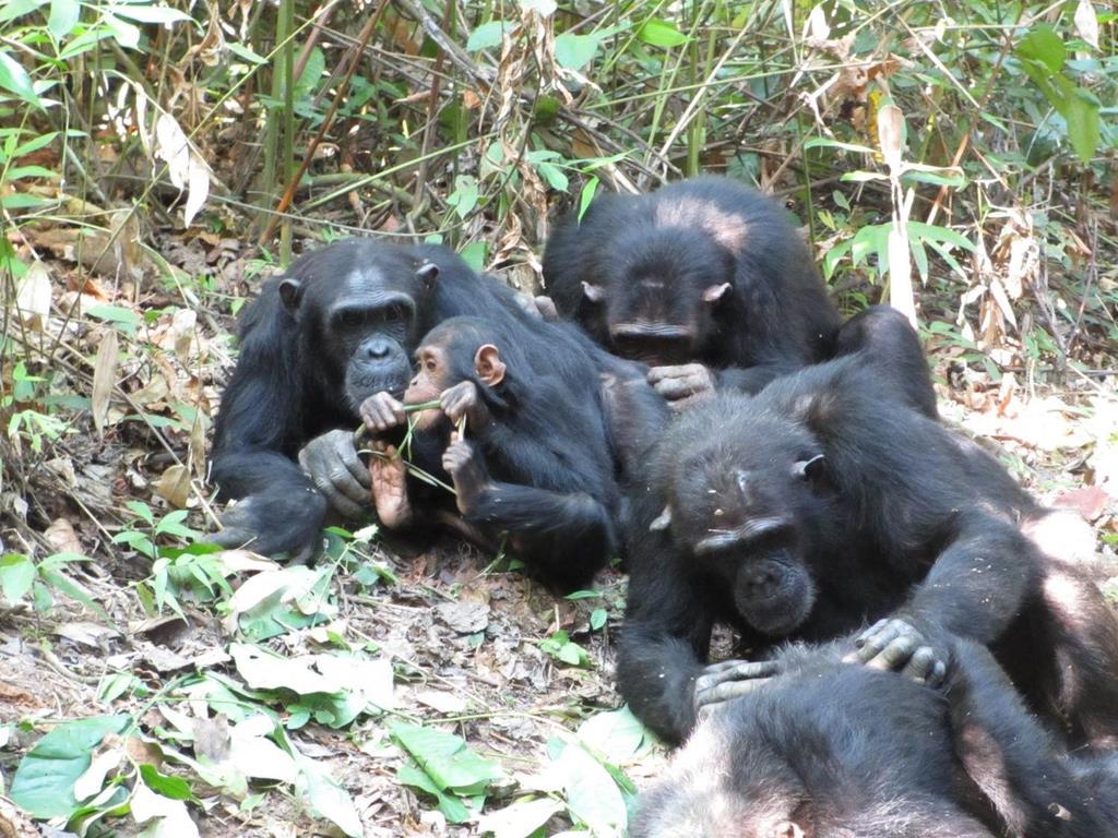 母親が毛繕いをするなか、植物の茎を食べる子供のチンパンジー(松本卓也研究員提供)